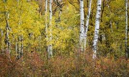 填装图象的金黄黄色白桦树 库存照片