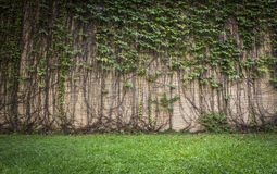 墙壁上升的植物 库存照片