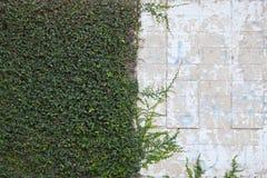 墙壁和叶子 库存照片