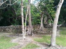 墙壁和树在Kohunlich玛雅废墟 库存照片
