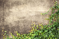墙壁和绿色藤 免版税库存图片