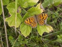 墙壁棕色蝴蝶 库存图片
