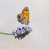 墙壁棕色蝴蝶 免版税库存照片