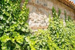 墙壁用绿色常春藤盖的由砖做成 库存图片