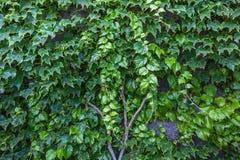 墙壁的抽象构成有藤本植物的 库存照片