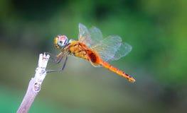 墙壁的蜻蜓颜色 免版税库存照片