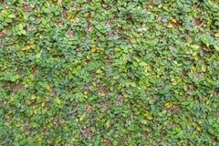 墙壁背景的绿色植物 免版税图库摄影