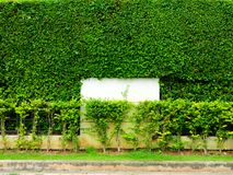 墙壁自然和白色混凝土绿色植物在庭院里 免版税库存图片