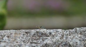 墙壁蜥蜴偷看在一个石墙的外缘 免版税库存照片