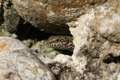 墙壁蜥蜴& x28; Podarcis muralis& x29; 库存照片