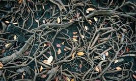 增长更大一棵大树的根 成长的概念 免版税库存照片