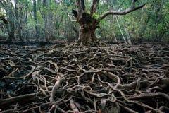 增长更大一棵大树的根 成长的概念 免版税图库摄影