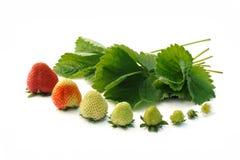 增长查出的草莓白色 库存照片