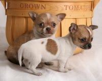 增长的家庭小狗 库存照片