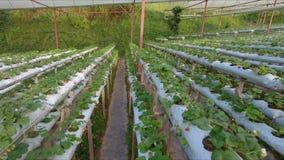 增长的草莓的一间水耕的温室 股票录像