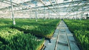 增长的郁金香自现代温室,安置在地面的行 影视素材