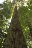 增长老结构树 免版税库存图片