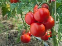 增长蕃茄 库存照片