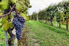 墨尔乐红葡萄酒葡萄 免版税图库摄影