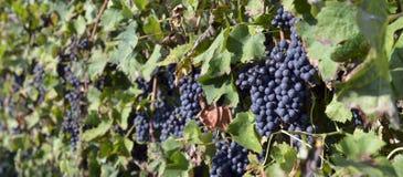 墨尔乐红葡萄酒葡萄 库存照片