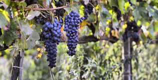 墨尔乐红葡萄酒葡萄 库存图片