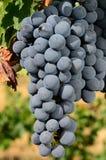 墨尔乐红葡萄酒 库存照片