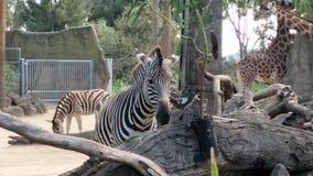 墨尔本动物园斑马 库存照片