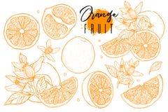 墨水手拉的套橙色果子 食物元素汇集 葡萄酒剪影 颜色概述 整个,半和被切的裂口图画  库存照片