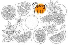 墨水手拉的套橙色果子 食物元素汇集 葡萄酒剪影 黑概述 整个,半和被切的裂口图画  免版税库存照片