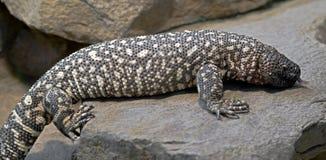 墨西哥串珠的蜥蜴1 图库摄影