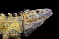 墨西哥人多刺被盯梢的鬣鳞蜥(梳状的Ctenosaura) 免版税库存照片