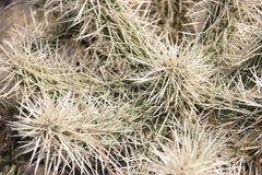 墨西哥仙人掌和脊椎从沙漠 库存图片