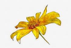 墨西哥向日葵水彩在被隔绝的背景的 皇族释放例证