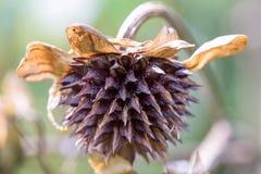墨西哥向日葵的种子头 免版税库存照片