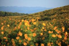 墨西哥向日葵领域 库存照片