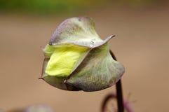 墨西哥常春藤芽。 库存照片