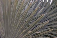 墨西哥扇形棕榈树叶子 免版税库存照片