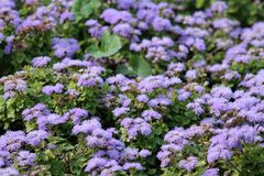 墨西哥油漆刷或藿香蓟属houstonianum小蓝色花  免版税库存图片