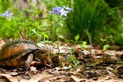 墨西哥湾海岸龟盒 库存照片
