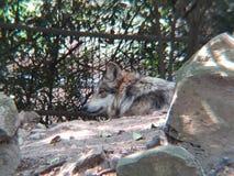 墨西哥狼在动物园里 库存照片