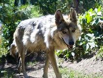 墨西哥狼 免版税库存照片