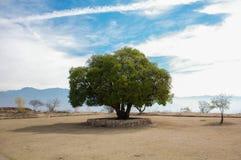墨西哥瓦哈卡Monte奥尔本偏僻的树和天空 免版税库存照片