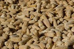墨西哥的玉米庄稼 库存照片