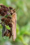 墨西哥的蚂蚱 免版税库存照片
