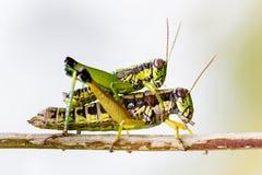 墨西哥的蚂蚱 图库摄影