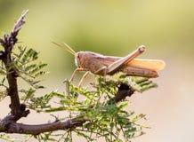 墨西哥的蚂蚱 免版税图库摄影