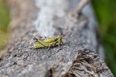 墨西哥的蚂蚱 库存图片