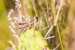 墨西哥的蚂蚱 库存照片