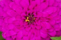 墨西哥翠菊桃红色在路旁边的森林里开花 免版税库存照片