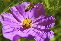 墨西哥翠菊Cosmea bipinnata 免版税库存照片